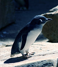 pinguins-philip-island.jpg